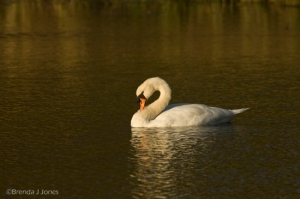 Solitary Swan by Brenda Jones