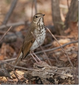 Thrush in Underbrush by Brenda Jones