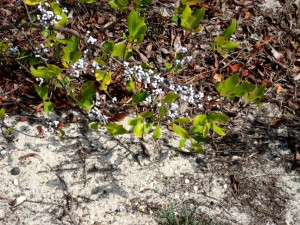 Bayberry Ripe for the Migrants Island Beach Sept 2014