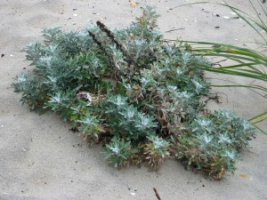 Artemesia - the Dune-Saver