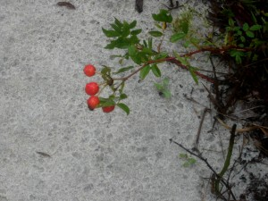 Wild Rose Hips, Atlantic Side