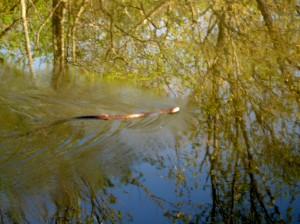 Snake Swims D&R Canal near Princeton