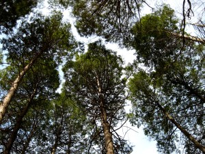 Evergreen Canopy