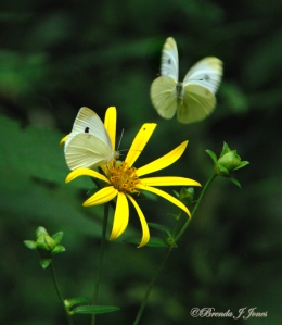 Cabbage White Butterflies Nectaring, by Brenda Jones