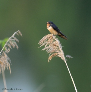 Barn Swallow, Sunset, By Brenda Jones
