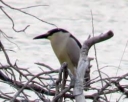 Black-crowned night heron, from web