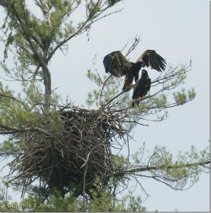 Immature American Bald Eagles by Brenda Jones