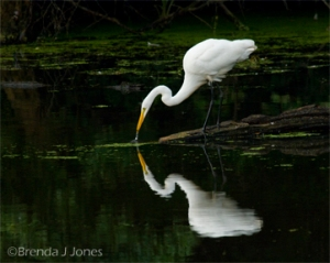 Great Egret Fishing, by Brenda Jones