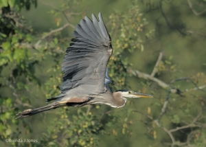 Great Blue Heron Take-off, by Brenda Jones