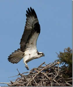 Osprey Flight at Nest, by Brenda Jones