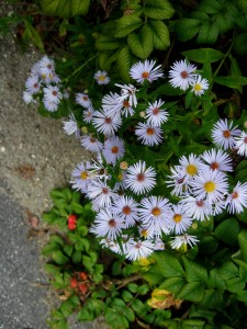 New England Asters in New England