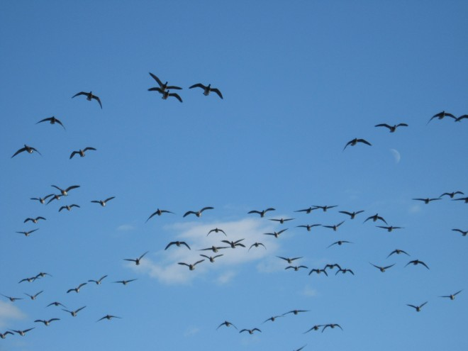 brant-fleeing-helicopters-sandy-hook-november