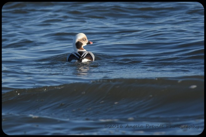 island-beach-saucy-long-tailed-duck-female-angela-previte