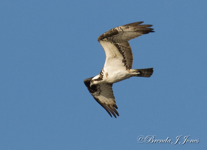 ospreymillstoneaqueduct-brenda-jones