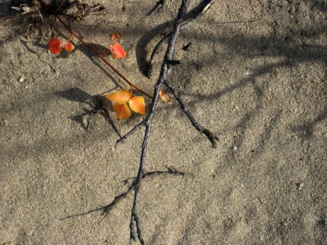 poison-ivy-still-life-sandy-hook-november