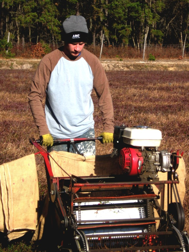 21st-century-cranberry-harvest-pine-barrens-november-2015