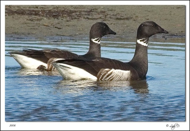 black brant in water from Internet