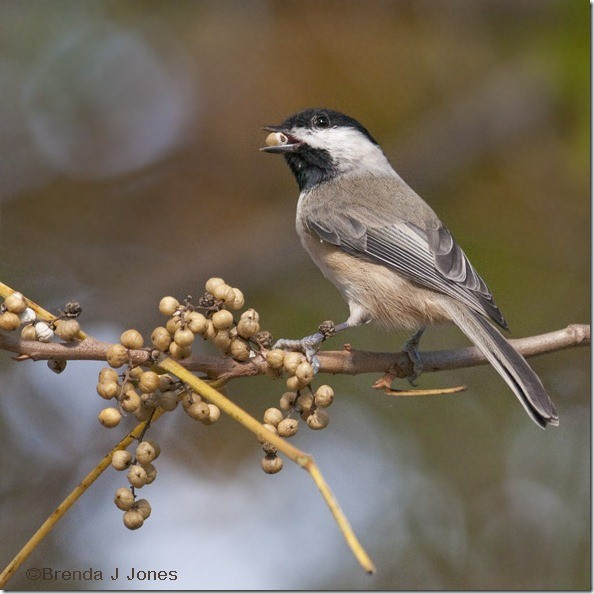 Chickadee with Berry Brenda Jones