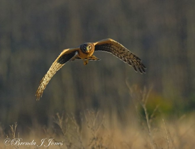 Female Harrier Comin' In on a Wing Brenda Jones