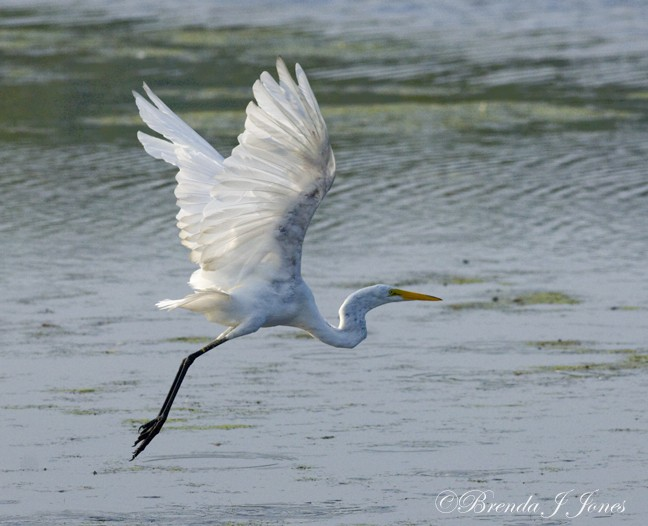 Great Egret Brigantine Forsythe Brenda Jones 2