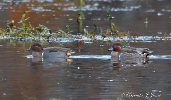 Green-Winged Teal Brenda Jones