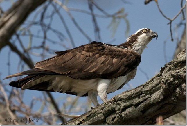 Osprey on winter tree Brenda Jones