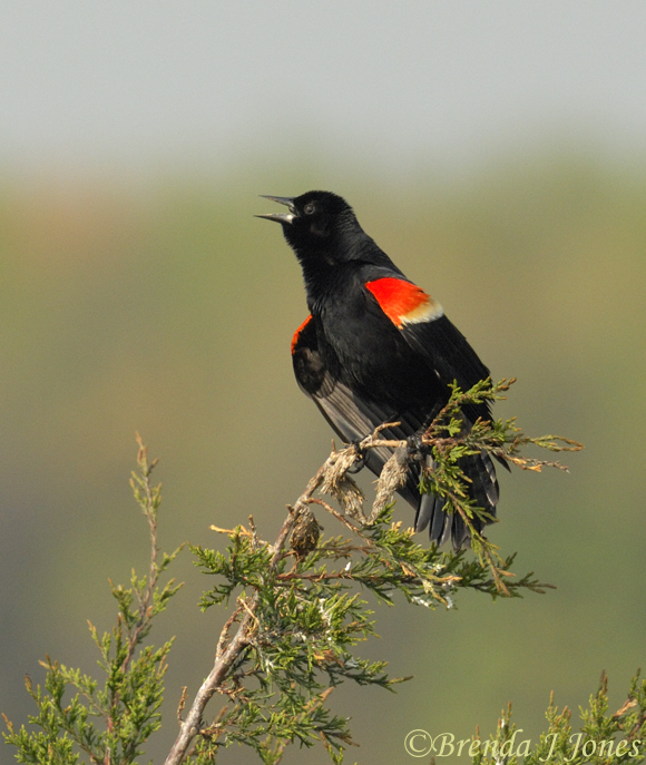 Red-winged Blackbird Brenda Jones