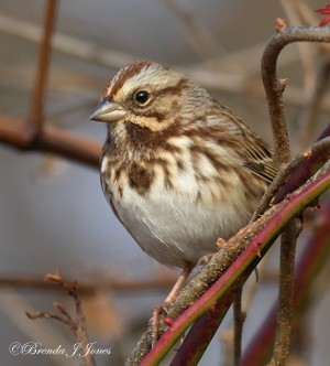 Song Sparrow from blind Brenda Jones