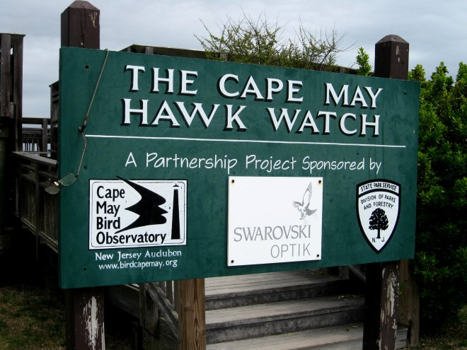 Cape May Hawk Watch Platform aster 2017