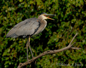Heron Giving Voice Brenda Jones