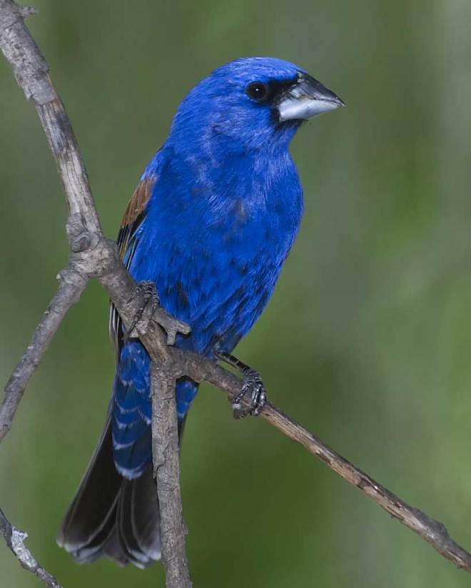 Blue_Grosbeak_from INternet jpg