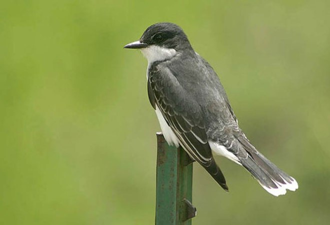eastern-kingbird-michael-woodruff from Internet
