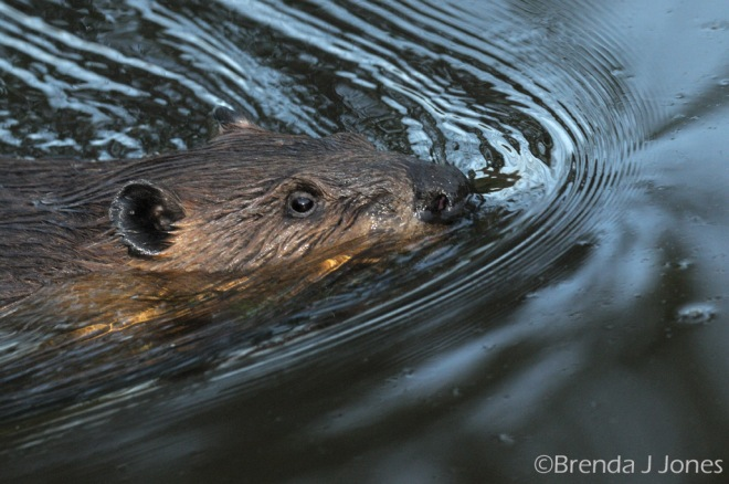 beaver close-up Brenda Jones