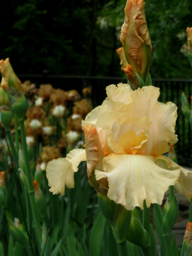 Bordentown Peach Mousse Iris