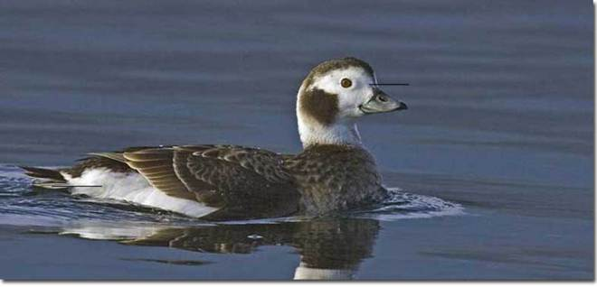 female long-tailed duck from internet