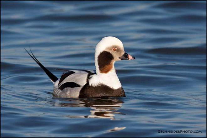 male long-tailed duck from INternet
