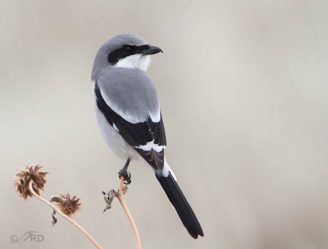 northern-shrike-from internet