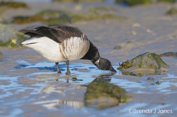 Brant Goose Drinking Barnegat