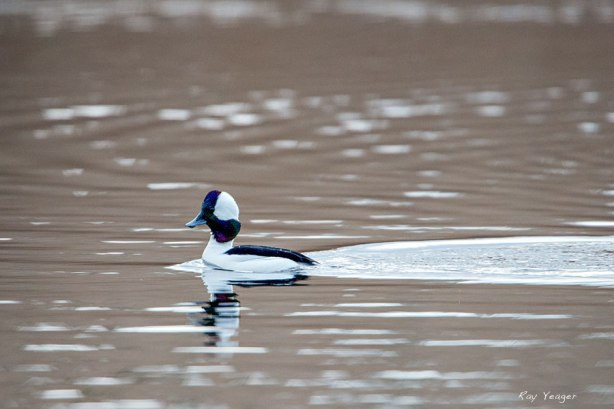 Male Bufflehead by Ray Yeager