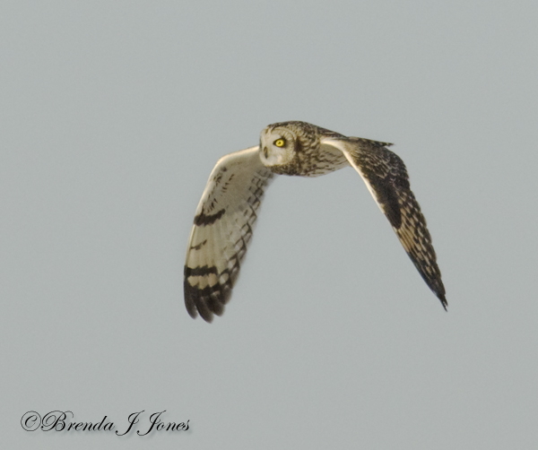 Short-eared Owl wingdrop