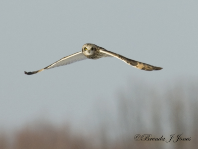 Short-eared Owl wing swoop-look