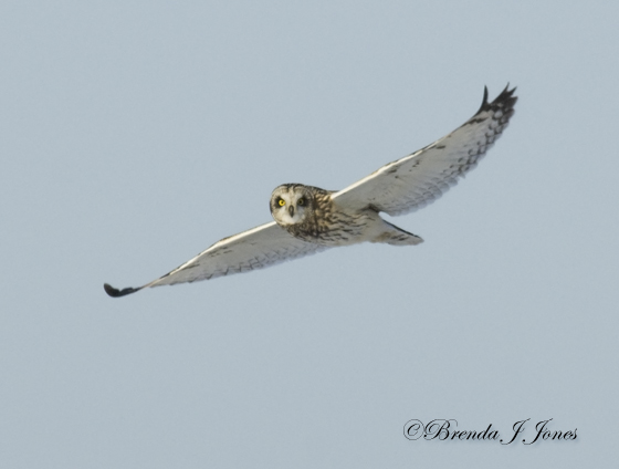 Short-eared Owl white coloration