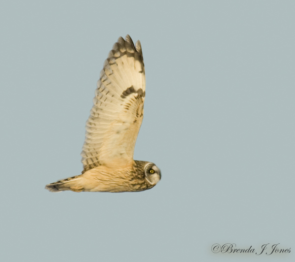 Short-eared owl profile Pole Farm Brenda Jones
