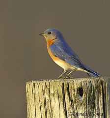 sunset bluebird Pole Farm Brenda Jones